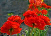 Blossomed out tulips — Stock Photo