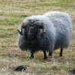 Typical Icelandic sheep — Stock Photo