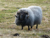 Typowe owce islandzkie — Zdjęcie stockowe