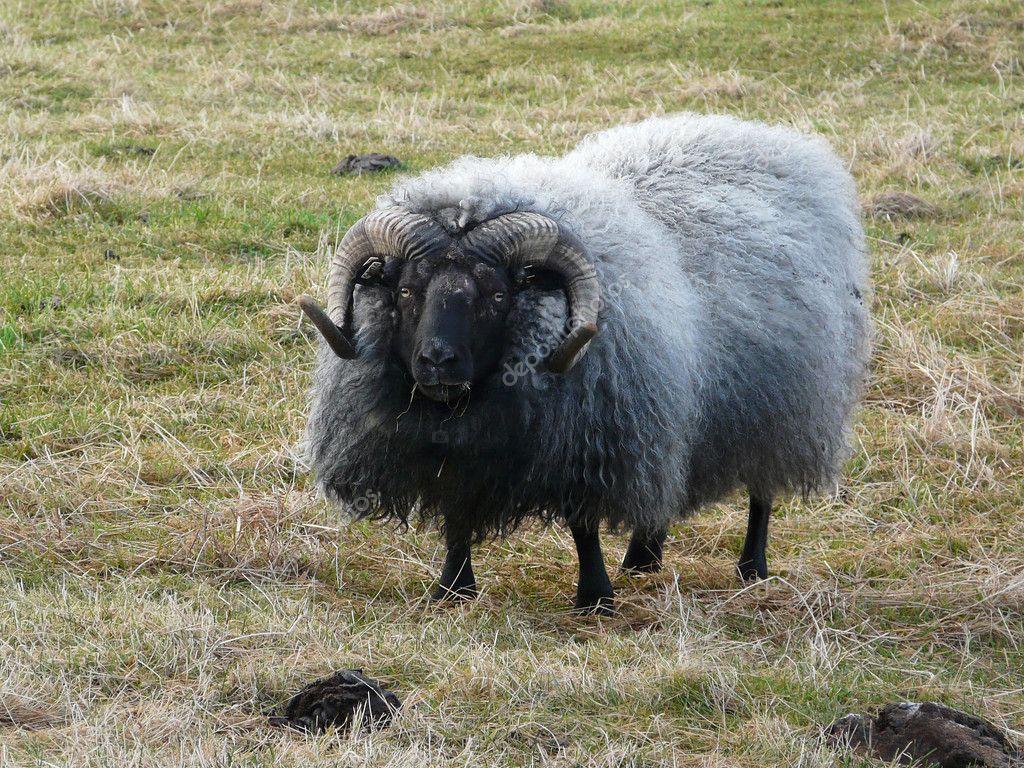 典型的冰岛羊 - 图库图片