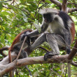 Endangerd Zanzibar red colobus monkey - Stock Photo