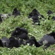 Royalty-Free Stock Photo: Group of mountain gorillas