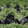 Stock Photo: Group of mountain gorillas