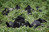 Group of mountain gorillas — Stock Photo