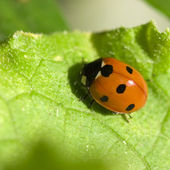 Insect of a ladybird on green sheet — Stock Photo