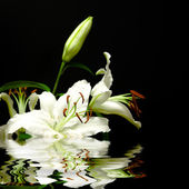 White flowers and reflexion — Stock Photo