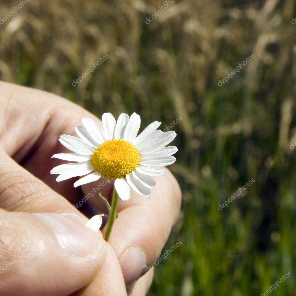 The man's hand tears off a camomile petal — Stock Photo #1367724