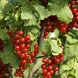 Bush with berries of a red currant — Stock Photo