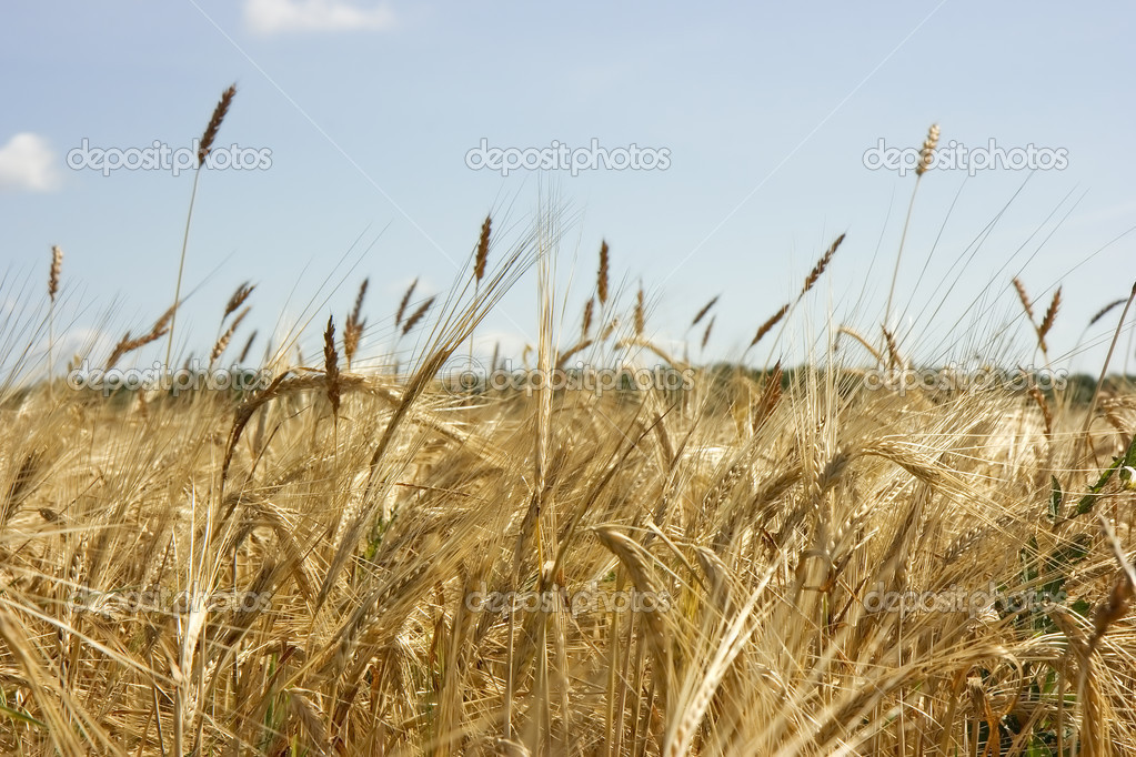 Photo of yellow cereal field in the autumn — Stock Photo #1411532