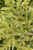Fur-tree branch — Stock Photo