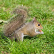 Grey squirrel — Stock Photo #1344314