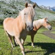 Two haflinger horses — Stock Photo