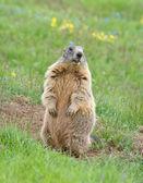 Sentinel marmot — Stock Photo