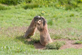 Young marmots — Stock Photo