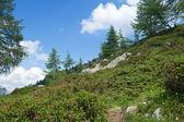 Alpine flora — Stock Photo
