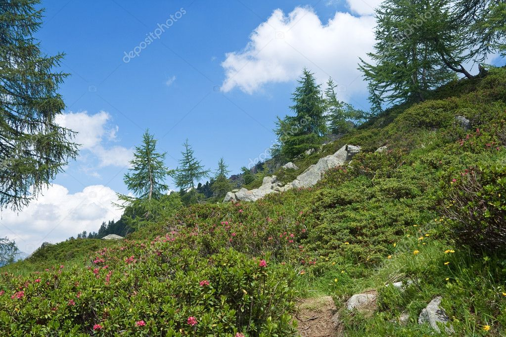 Alpine landscape on summer with rhododendron flowers — Stock Photo #1512109