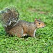 Grey squirrel - Stock Photo