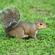 Grey squirrel — Stock Photo #1535102