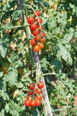 Cherry tomato crop — Stock Photo