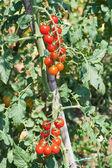 Cherry tomato crop — Stock Photo