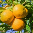 ������, ������: Oranges on a tree