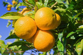 Oranges on a tree — Stock Photo
