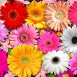 Gerbera´s garden — Stock Photo
