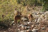 Deer family in national park — Stock Photo