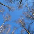 Winter tree crowns on deep blue sky — Stock Photo