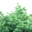 Closeup of blue spruce pine branches — Stock Photo