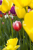 The tulips flower bed — Stock Photo