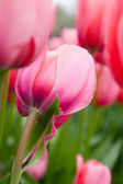 The close-up of pink tulip — Stock Photo