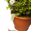 Boxwood bush dollar — Stock Photo #1409841