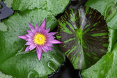 Water lily close up — Stock Photo
