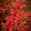 Barberry — Stock Photo #1498952