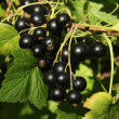 Currant — Stock Photo #1499036