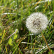 Dandelion — Stock Photo #1376549