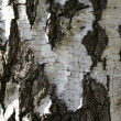 Birch — Stock Photo #1376701