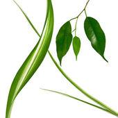 Fresh green leaves on white background — Stock Photo