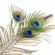 Stock Photo: Bouquet peacock feathers