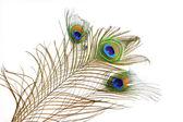 Buket tavus kuşu tüyü — Stok fotoğraf