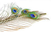 Bouquet peacock feathers — Stock Photo