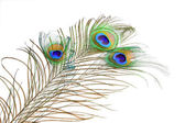 Bouquet peacock feathers — Стоковое фото