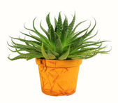 House plant — Stock Photo