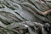 Thick bark — Stock Photo