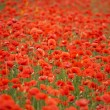 Field of red poppies - Stok fotoğraf