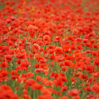 Field of red poppies — Stock Photo #1358363