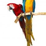 iki papağan — Stok fotoğraf