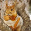 Squirrel with a nut on a branch - Stock Photo