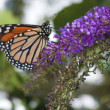 Monarch Danaus plexippus Butterfly - Stock Photo